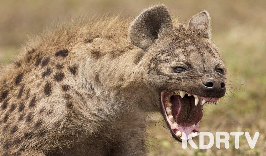 rsz hyena3