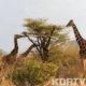 Samburu Conservancies.
